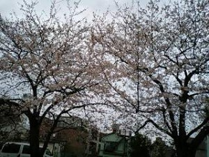 近所の桜の木