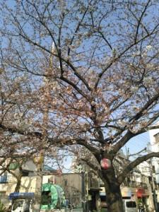 荒川遊園の桜